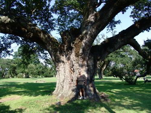 The tree measures just under 49 feet in height, and its maximum limb spread stretches 154.5 feet.